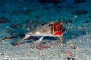 cocos_red-liped-batfish