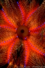 blue_spotted_sea_urchin